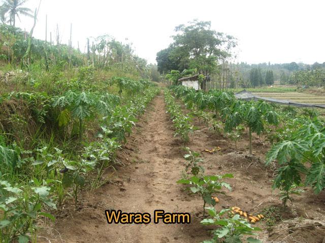 Tumpang Sari Calina, Buah Naga Dan Bawang Merah – waras farm