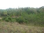 Albasia & Pohon kelapa