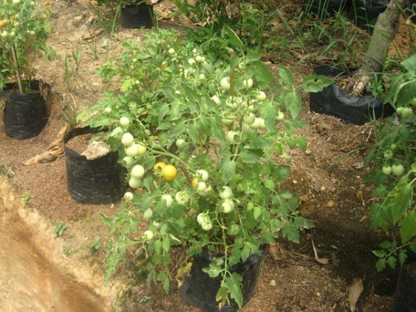 Budidaya Tomat Dalam Pot Bagi Warga Kota Waras Farm