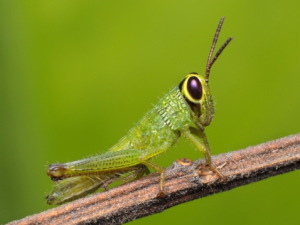 nimfa belalang