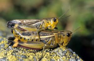 grasshoppers-reproduction