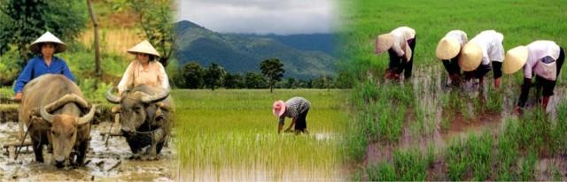 penanaman padi organik