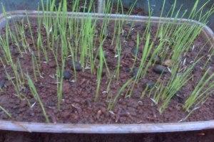 benih padi hitam