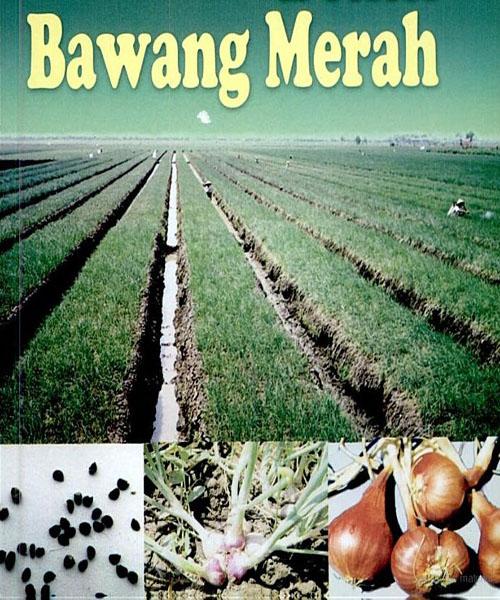 Budidaya Bawang Merah Dengan Biji Sebagai Solusi Mahalnya Ongkos Produksi Bawang Waras Farm