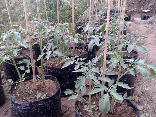 Bibit Tomat-1