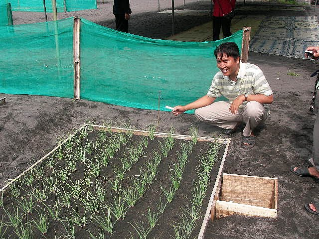menanam bawang merah di pasir dengan biji