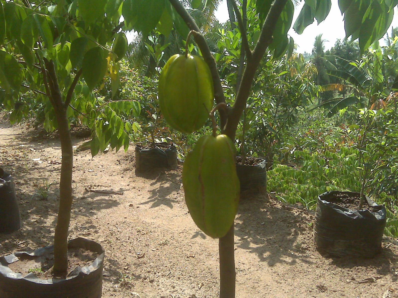 budidaya buah naga dan pembibitan newhairstylesformen2014