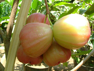 jambu pinkrose apple 3