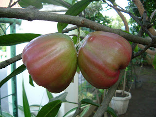 jambu red rose apple 2