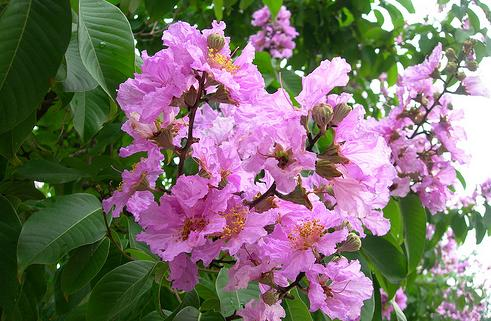 bunga-bungur