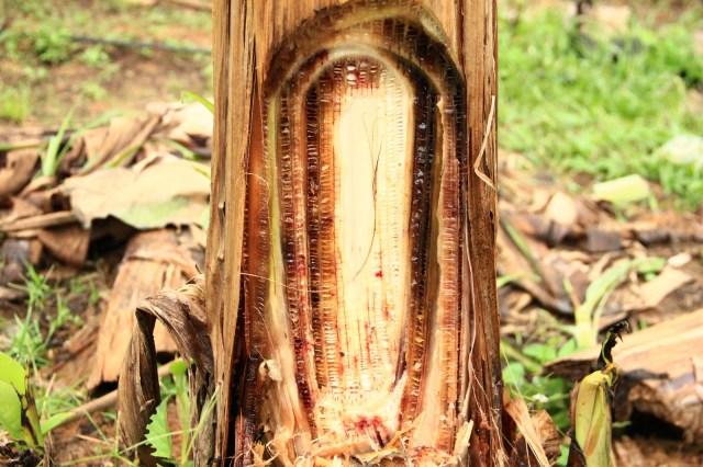 Layu Fusarium
