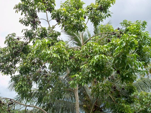 Pohon jengkol-2