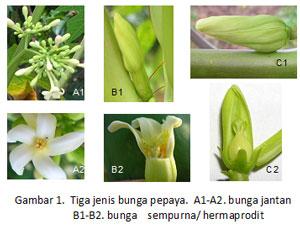 Mengenal jenis jenis bunga pepaya waras farm bunga pepaya ccuart Choice Image