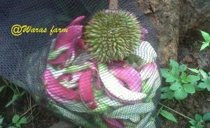 Durian dan Bunga Turi