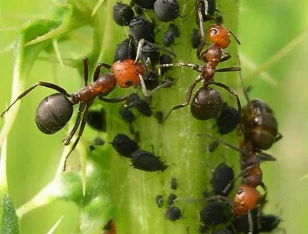 Hasil gambar untuk hama semut