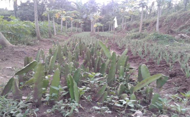 Tumpang Sari-2