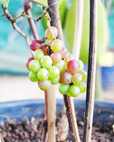 anggur pot