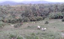 kambing-kambing warga di sekitar waras farm