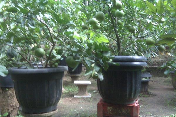 Jeruk dalam pot