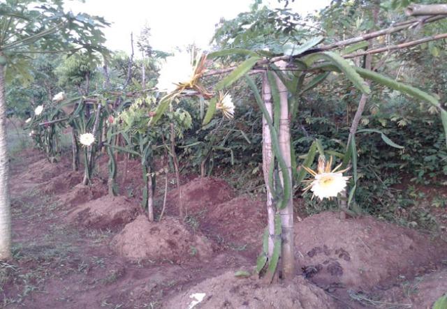 kebun buah naga
