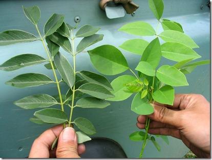 daun gamal sebagai bahan pestisida