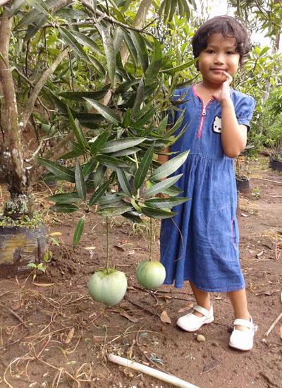Mangga Apel-1