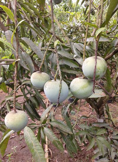 Mangga Apel-2