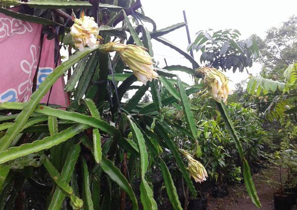 Bunga Naga-3