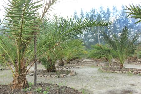Kebun Kurma Indonesia di Bangka Botanical Garden