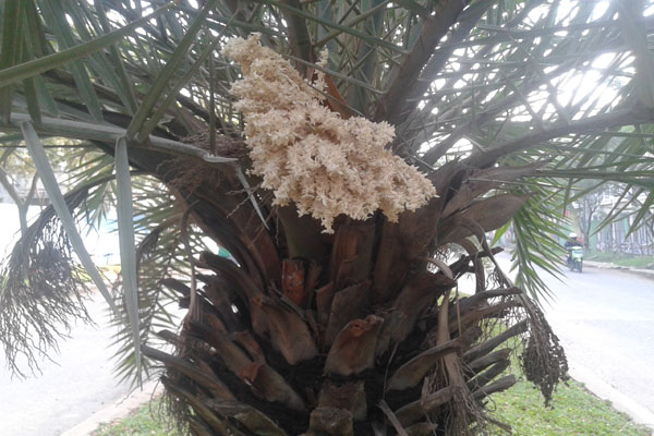 pohon kurma jantan
