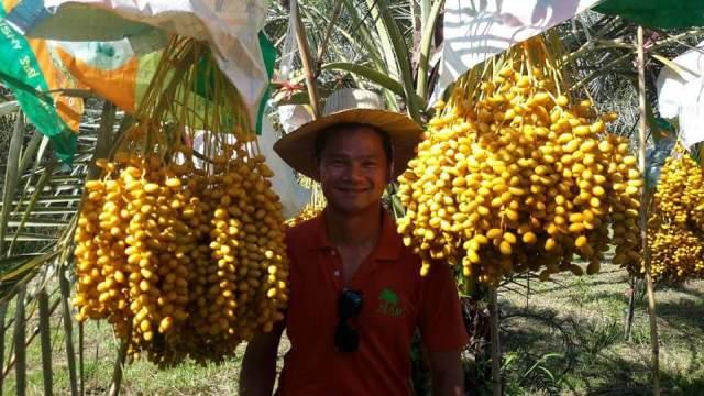 Kurma Tropis di Thailand