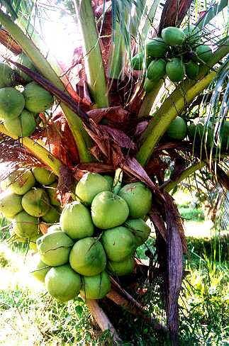 kelapa-berbuah
