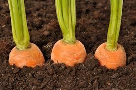 menanam wortel
