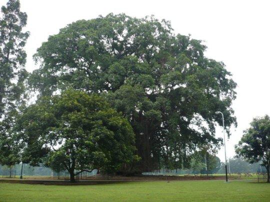 pohon-beringin