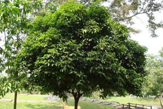 pohon-tanjung