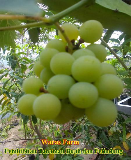 Anggur Hijau-2