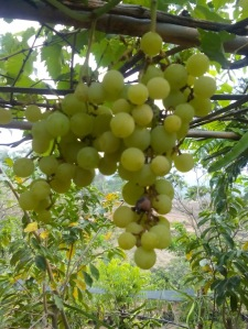 Anggur Hijau-4