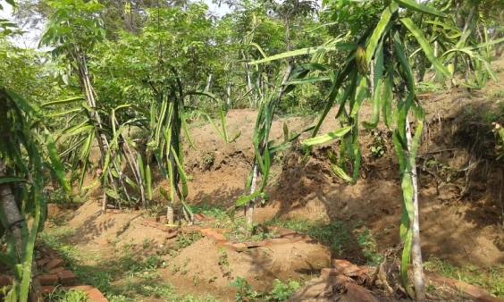 Tumpang sari buha naga di lahan miring