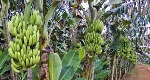 pohon-pisang