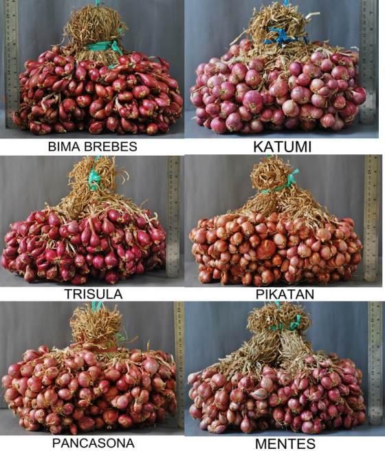 varietas-bawang-merah