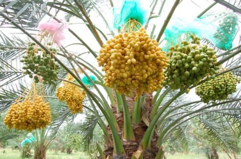 buah-kurma-di-indonesia