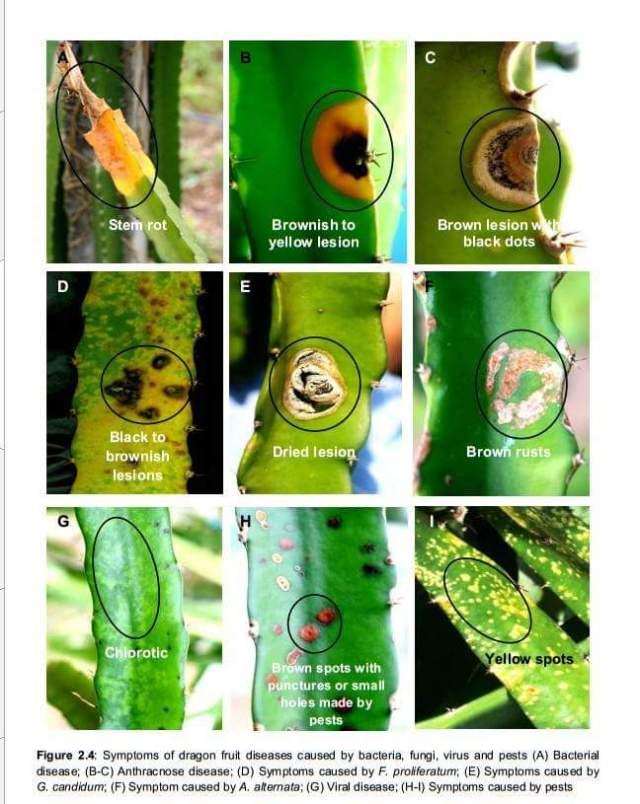 Gejala penyakit pada buah naga