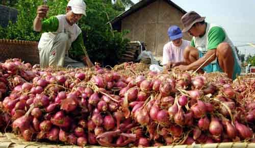 """HARRY SURJANA/""""PR"""" Pilih Benih TIGA petani memilih bawang merah untuk dijadikan benih di Desa Barisan Kec. Losari Kab. Cirebon, Rabu (22/3). Bawang yang terpilih untuk dijadikan benih akan digantung hingga kering sebelum ditanam dan sisanya akan dijual dengan harga Rp 7.000,00 hingga Rp 8.000,00 perkilogram.*"""