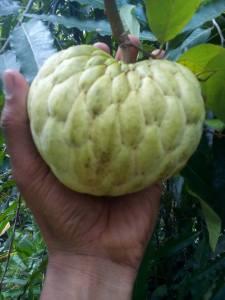 mulai besar buahnya