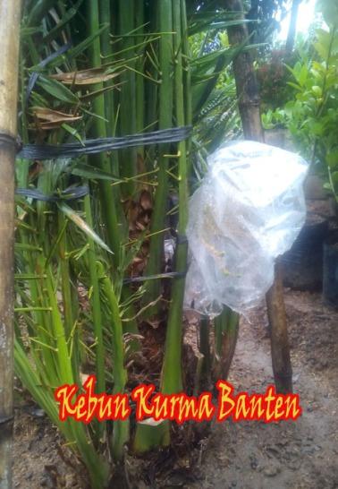 kurma-banten-2